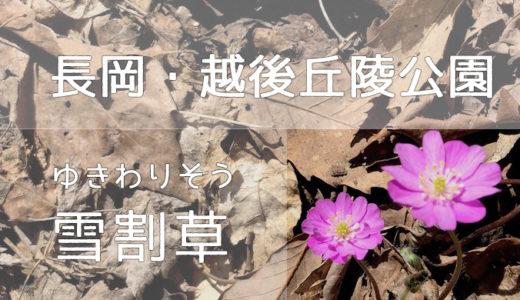 【雪割草・カタクリ・4月】長岡・越後丘陵公園に行きました【無料バス】